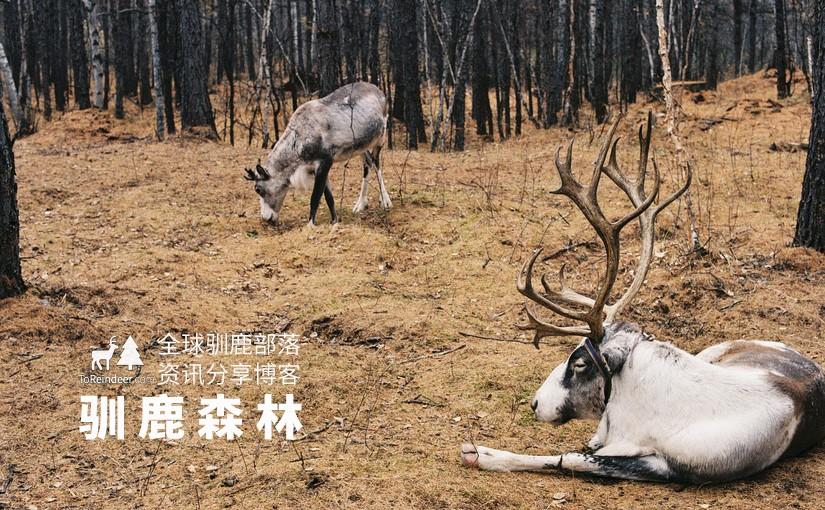 驯鹿森林未分类reindeer{初衷}我想重建一座森林的图片