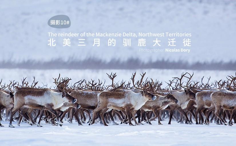 驯鹿森林图片集Alaska{摄影集10#}北美三月的驯鹿大迁徙的图片