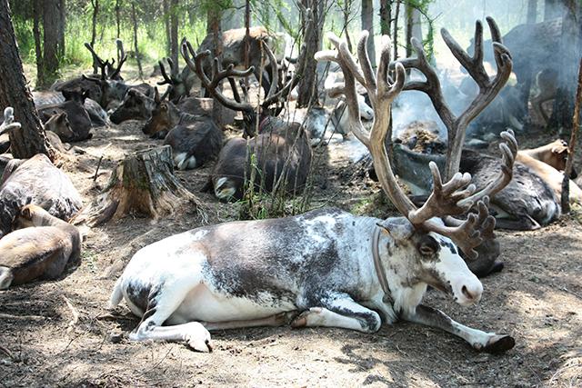 驯鹿森林网友作品分享你们是圣诞明信片上的邮政编码{网友作品9#}我在大兴安岭,寻鹿与遇鹿。的图片 第4张