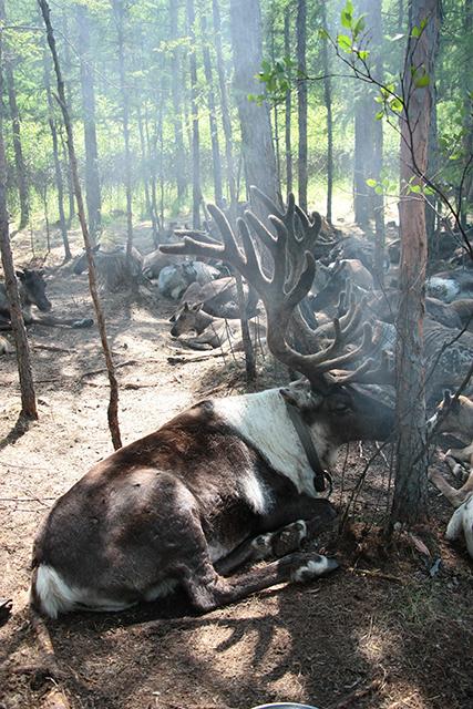 驯鹿森林网友作品分享你们是圣诞明信片上的邮政编码{网友作品9#}我在大兴安岭,寻鹿与遇鹿。的图片 第6张