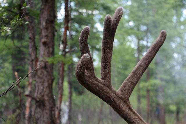 驯鹿森林网友作品分享你们是圣诞明信片上的邮政编码{网友作品9#}我在大兴安岭,寻鹿与遇鹿。的图片 第7张