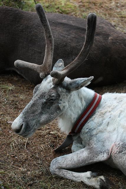 驯鹿森林网友作品分享你们是圣诞明信片上的邮政编码{网友作品9#}我在大兴安岭,寻鹿与遇鹿。的图片 第9张