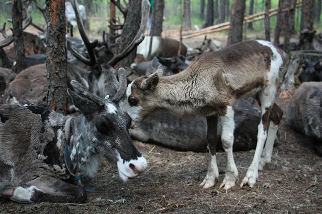 驯鹿森林网友作品分享你们是圣诞明信片上的邮政编码{网友作品9#}我在大兴安岭,寻鹿与遇鹿。的图片 第11张