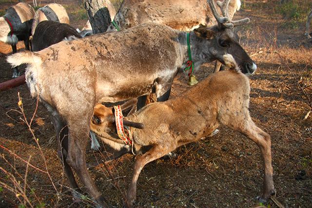驯鹿森林网友作品分享你们是圣诞明信片上的邮政编码{网友作品9#}我在大兴安岭,寻鹿与遇鹿。的图片 第16张