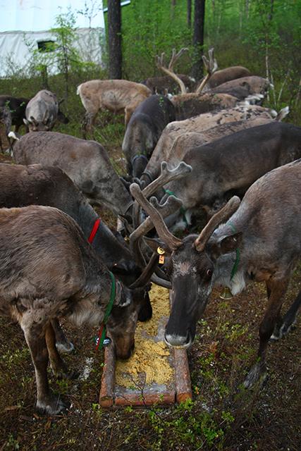 驯鹿森林网友作品分享你们是圣诞明信片上的邮政编码{网友作品9#}我在大兴安岭,寻鹿与遇鹿。的图片 第17张