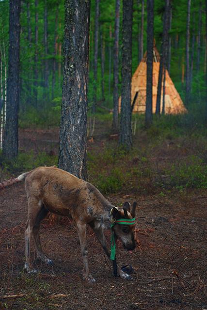 驯鹿森林网友作品分享你们是圣诞明信片上的邮政编码{网友作品9#}我在大兴安岭,寻鹿与遇鹿。的图片 第13张