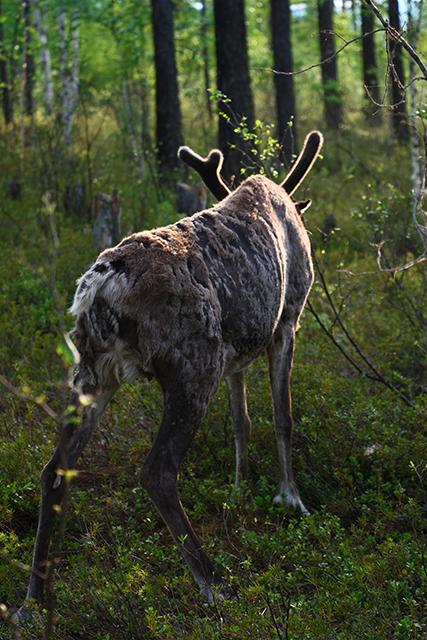 驯鹿森林网友作品分享你们是圣诞明信片上的邮政编码{网友作品9#}我在大兴安岭,寻鹿与遇鹿。的图片 第21张